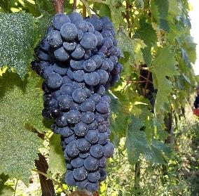 Vendemmia 2020, buona qualità uve, giù quantità e prezzo
